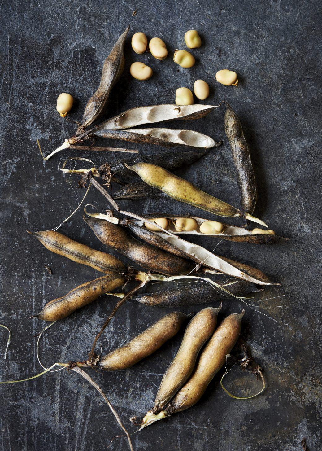Hodmedods beans at harvest
